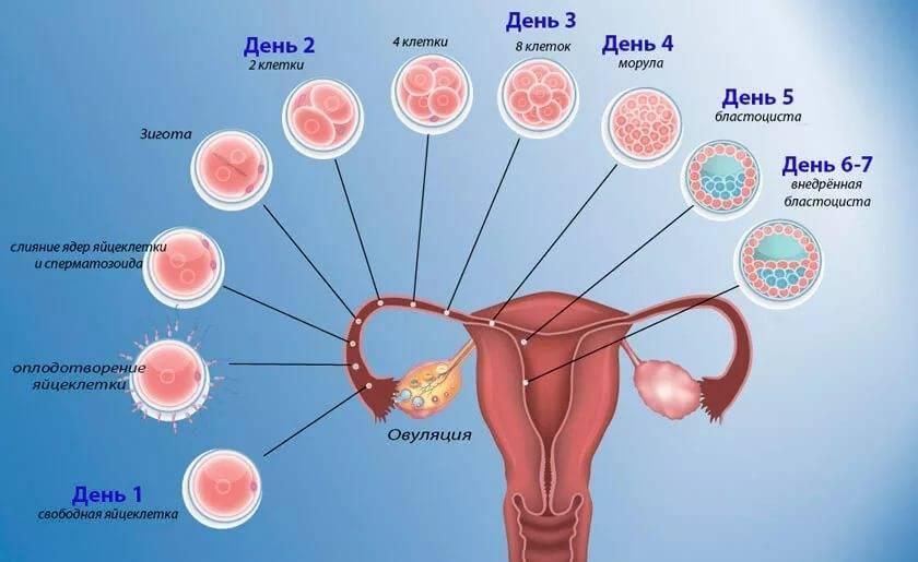 Имплантация эмбриона – ощущения, признаки. на какой день происходит имплантация эмбриона?