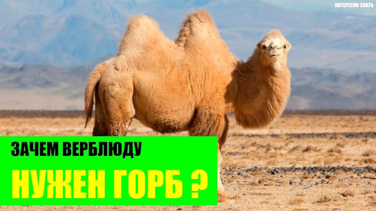 Для чего нужен горб верблюду. зачем нужен горб верблюду | интересные факты
