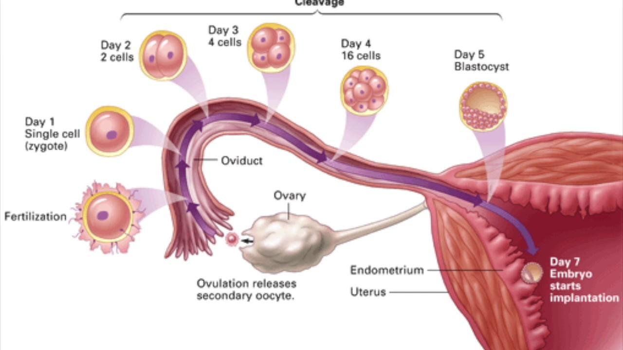 Через сколько дней происходит процесс зачатия