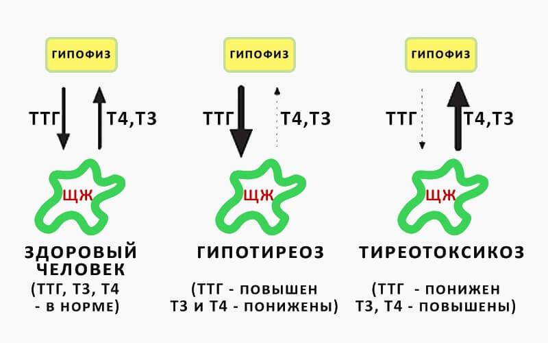 Пролактин повышен - что это означает и как понизить гормон