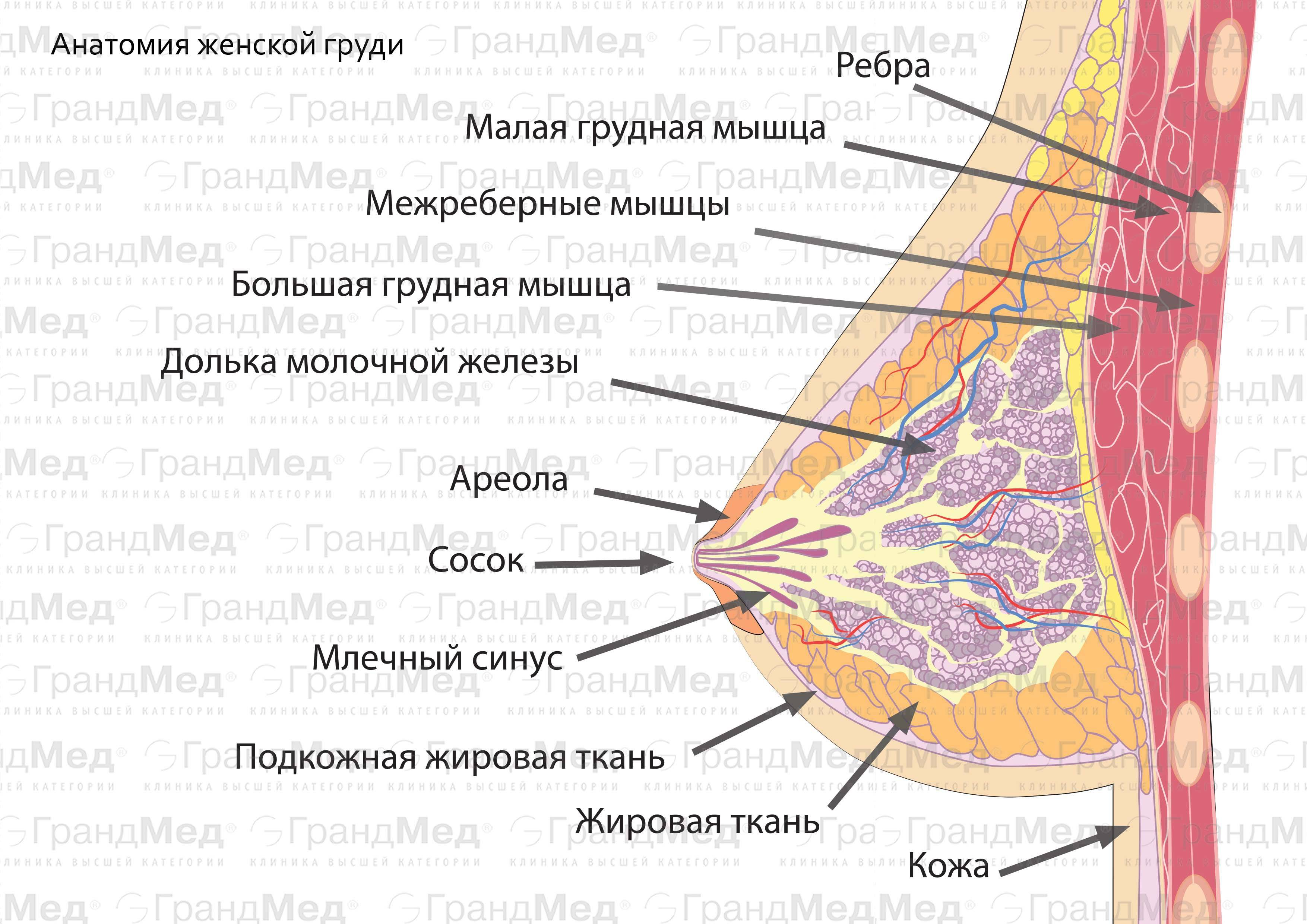 Молочные железы: анатомия, заболевания, профилактика