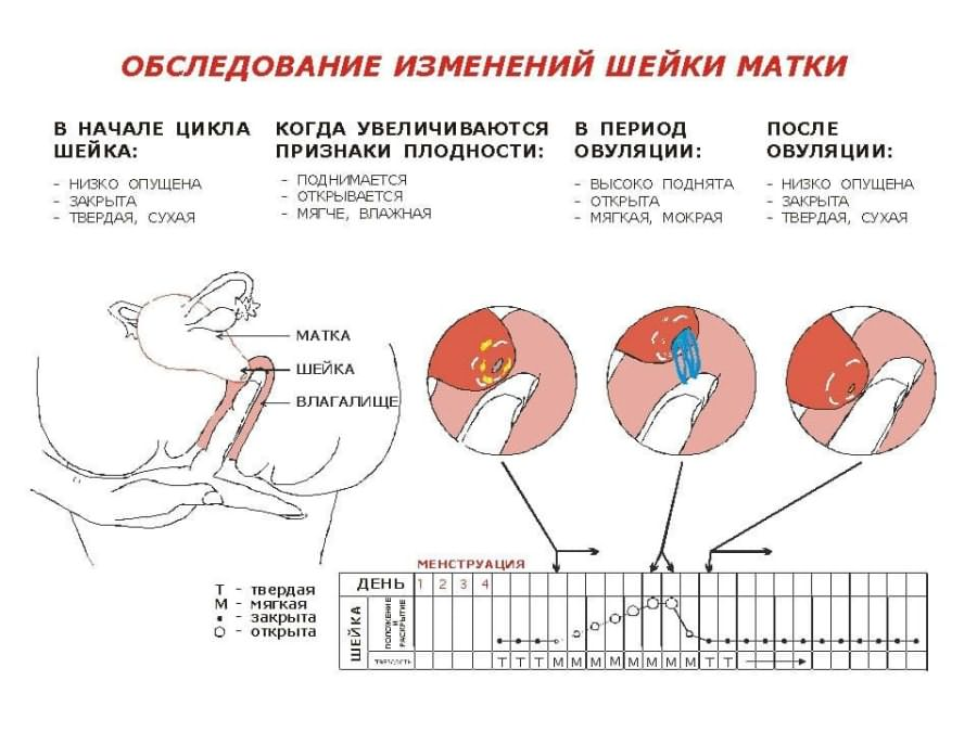 Правила роста живота во время беременности. размер матки при беременности по неделям