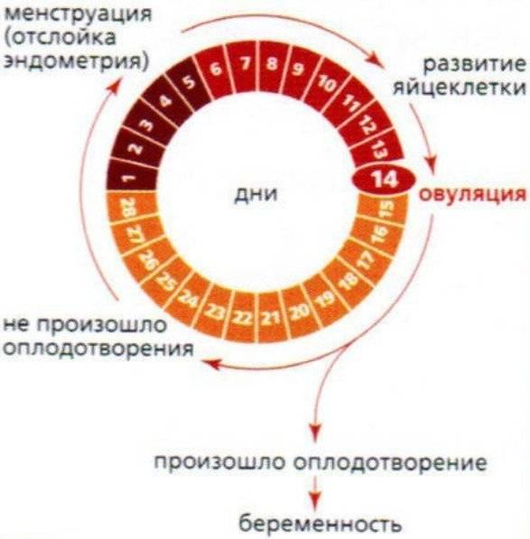 Ранняя овуляция: ее причины и вероятность наступления беременности / mama66.ru