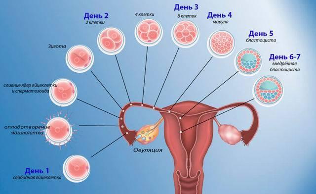 Когда наступает беременность после зачатия
