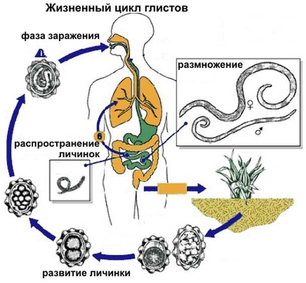 Гельминты удетей: виды паразитов ивлияние наорганизм, причины исимптомы, традиционные инародные методы лечения
