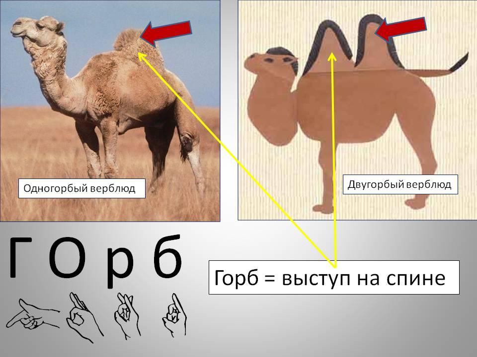 Зачем верблюду горбы (как объяснить ребенку 3-5 лет)