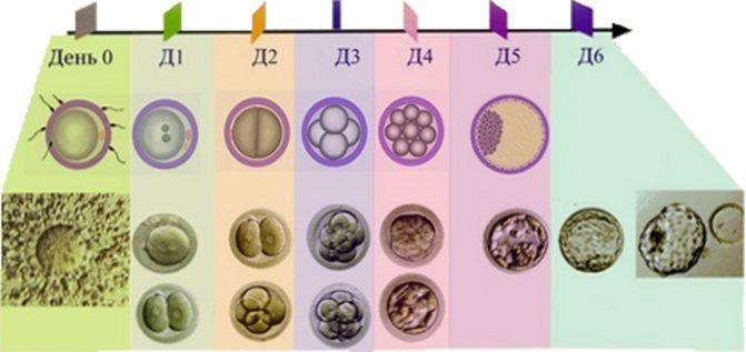 Качество эмбрионов, классификация, оценка для переноса эко