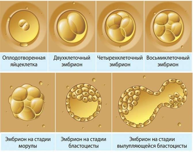 Как вести себя после переноса эмбрионов? рекомендации