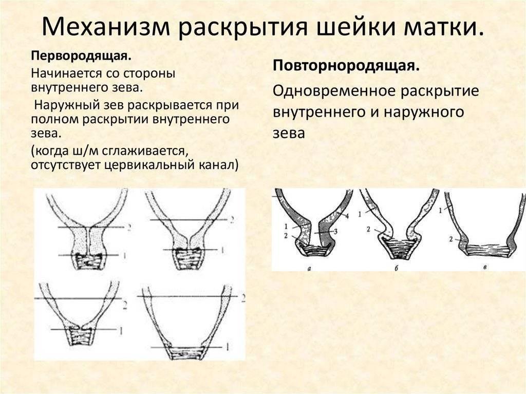 Раскрытие на 1, 2, 3 и 4 пальца - когда рожать, сколько это сантиметров: через сколько начнутся роды и потуги, нормы раскрытия в 40 недель