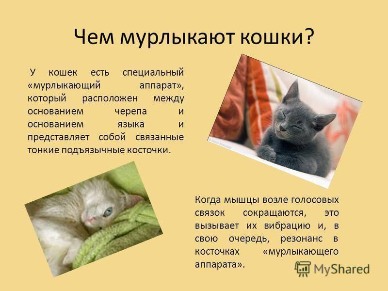 Когда котята начинают мурчать — topsamoe.ru