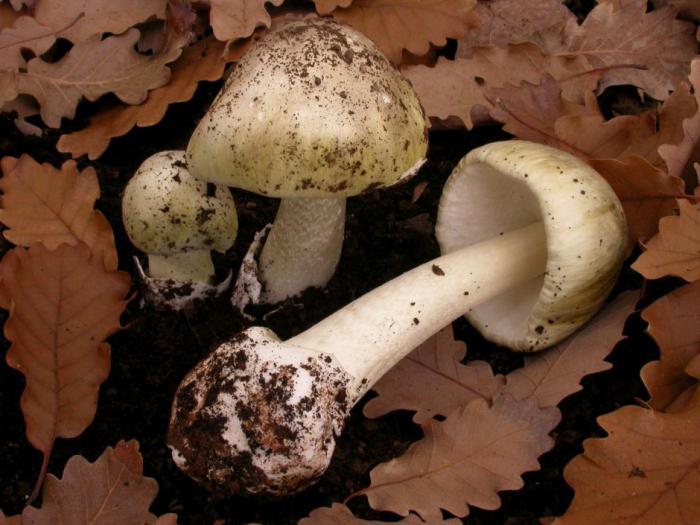 Можно ли грибы при грудном вскармливании (гв) ив каком количестве