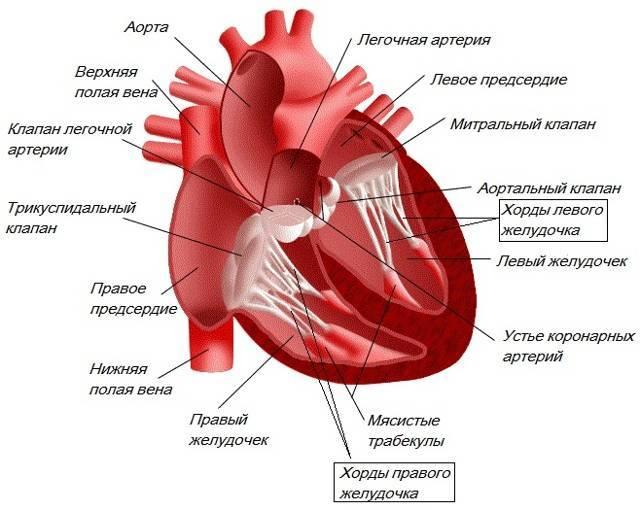 Что такое дополнительная или лишняя хорда в сердце (левом желудочке) у ребенка?