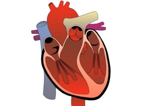 Хорда в сердце — характеристика аномалии — сердце