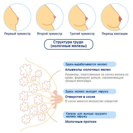 Болит грудь при грудном вскармливании: причины боли молочной железы при гв