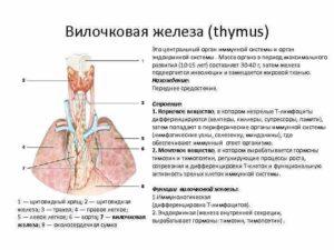 Вилочковая железа у детей – расположение, функции и самые частые заболевания тимуса