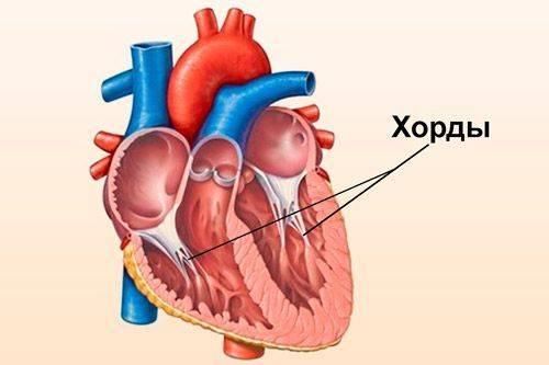 Дополнительные хорды в сердце на узи: что это такое, причины, нужно ли лечение