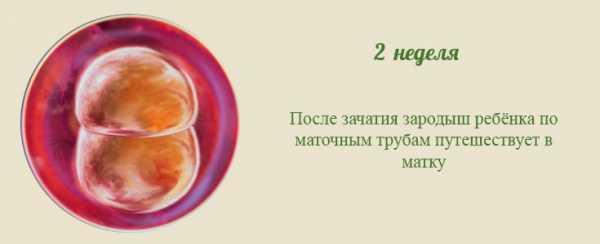 4 неделя беременности (40 фото): что происходит на 4 акушерской неделе или 2 неделе от зачатия с малышом и мамой, признаки и симптомы беременности, ощущения, как выглядит плод