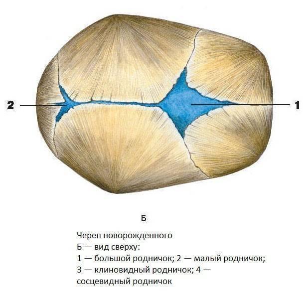 Родничок у грудничка: когда зарастает, нормы, отклонения
