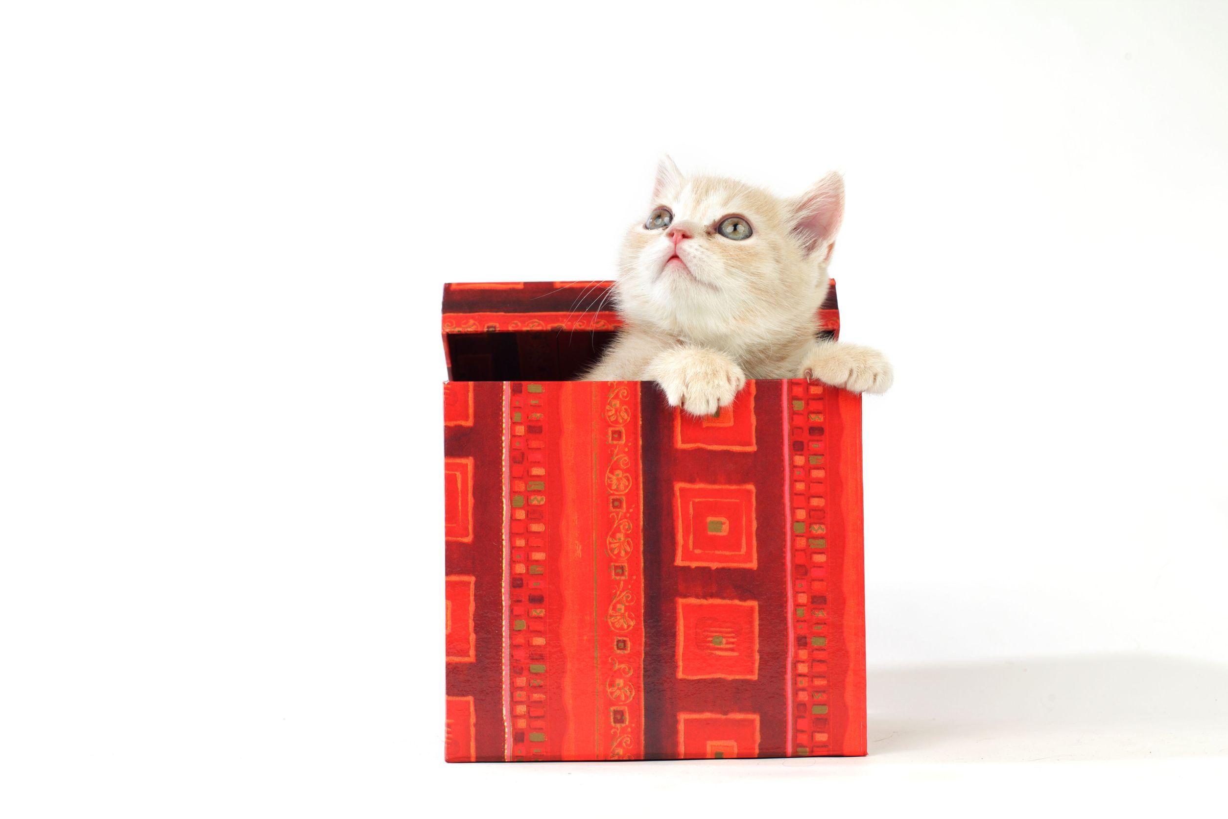 Британские котята, кошки и коты :: питомник softcat