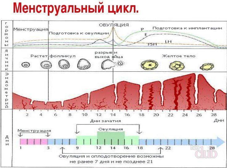 Особенности овуляции: каждый ли месяц происходит и сколько раз бывает за цикл?