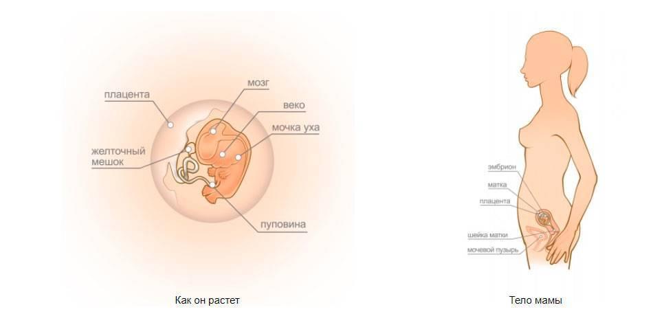 8 неделя беременности - развитие эмбриона, изменения в организме, признаки, анализы и обследования