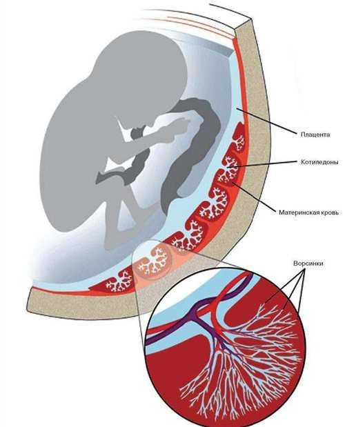 Плацента при беременности — орган, роль которого сложно переоценить