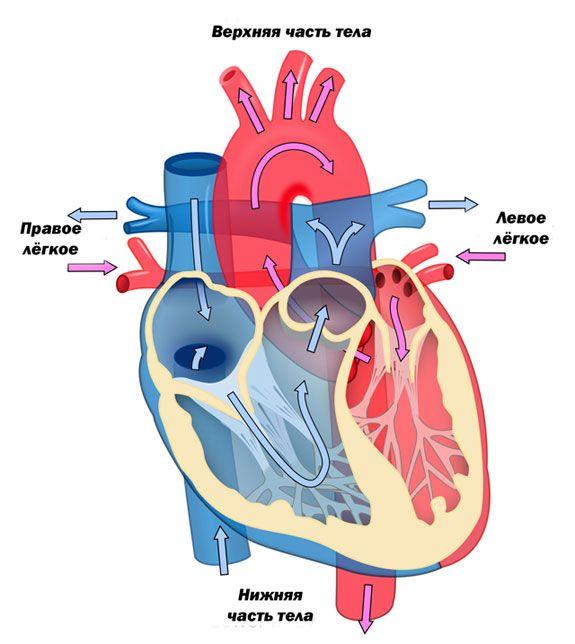 Дополнительная хорда у ребенка - здоров.сердцем